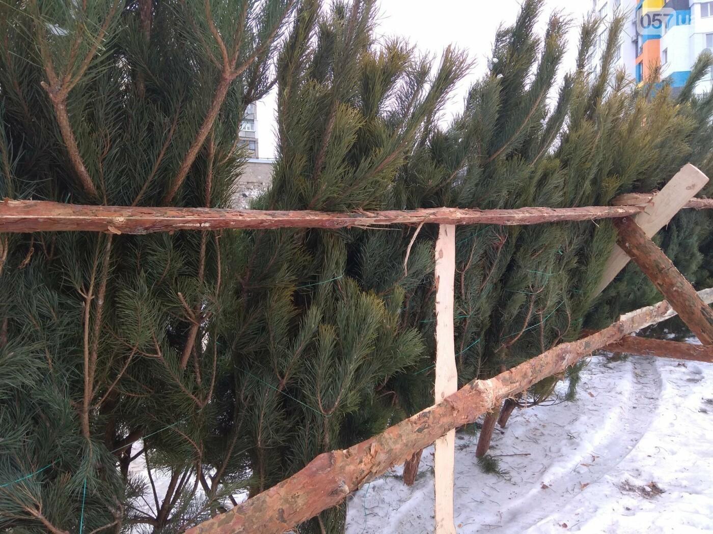 Новогодние елки в Харькове. Где и за сколько можно купить, - ФОТО, фото-1