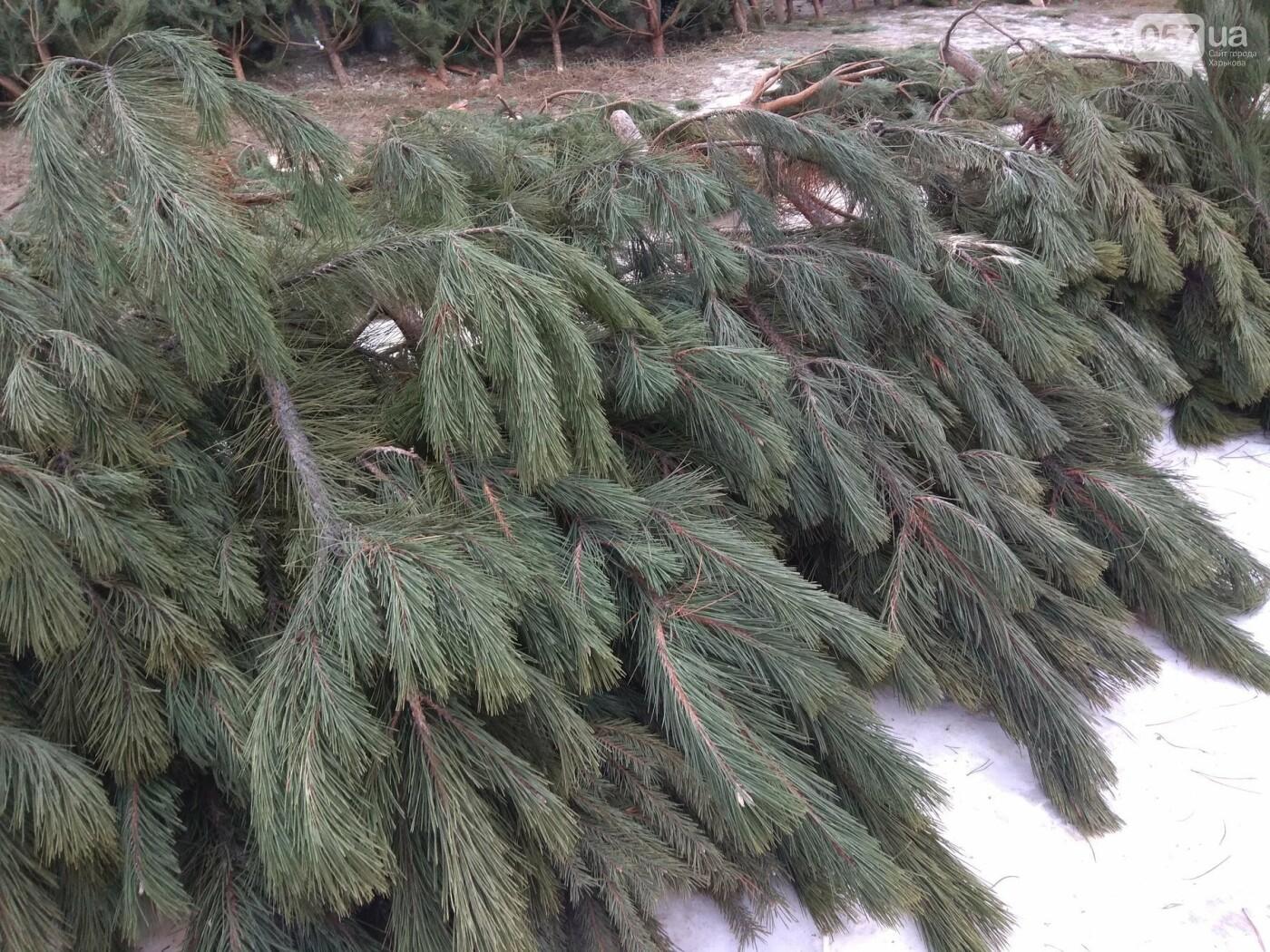 Новогодние елки в Харькове. Где и за сколько можно купить, - ФОТО, фото-2