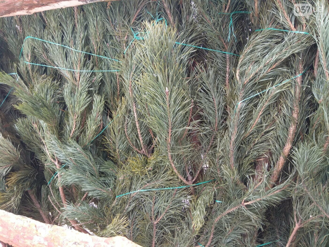 Новогодние елки в Харькове. Где и за сколько можно купить, - ФОТО, фото-3