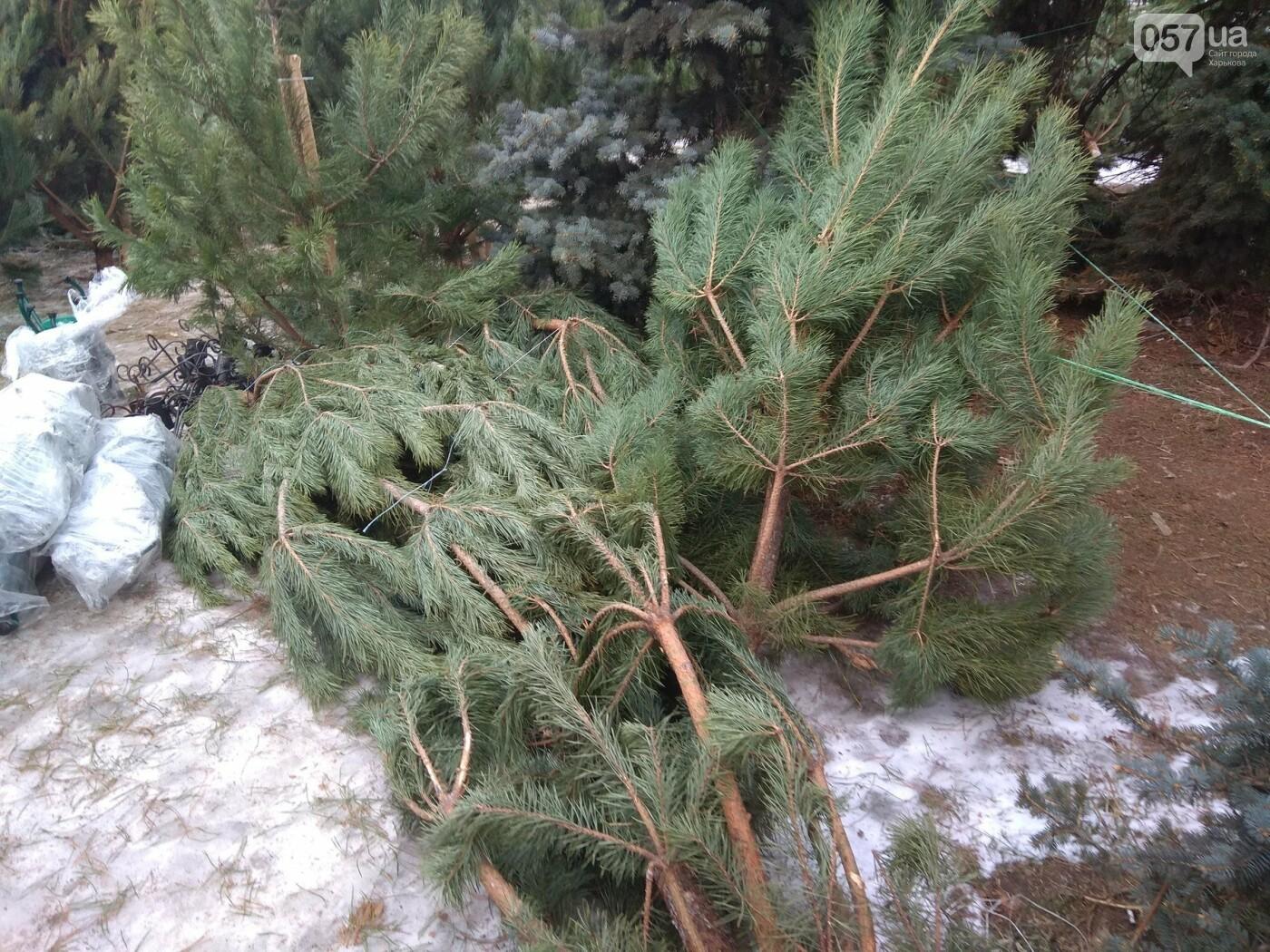 Новогодние елки в Харькове. Где и за сколько можно купить, - ФОТО, фото-7