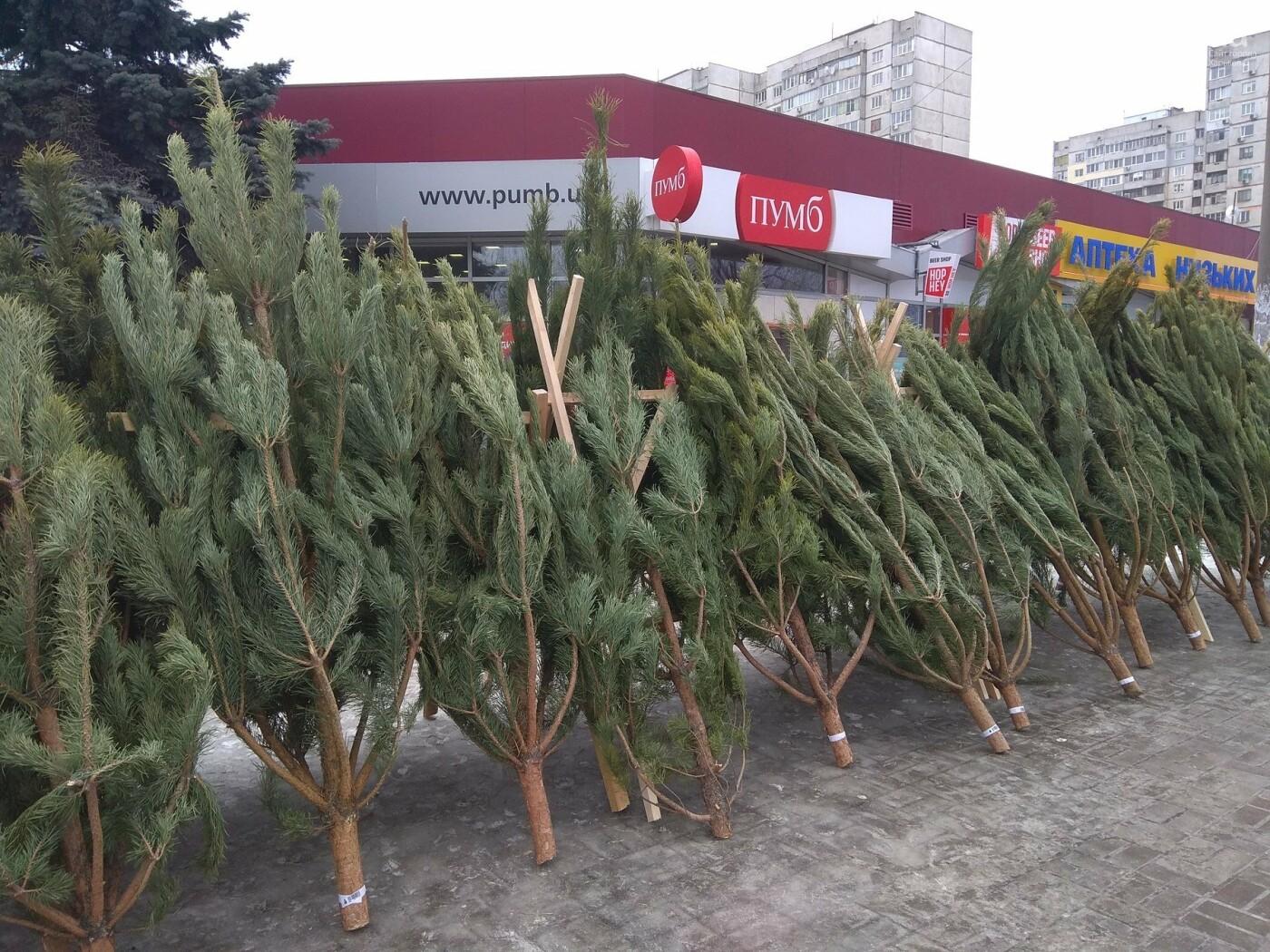 Новогодние елки в Харькове. Где и за сколько можно купить, - ФОТО, фото-10