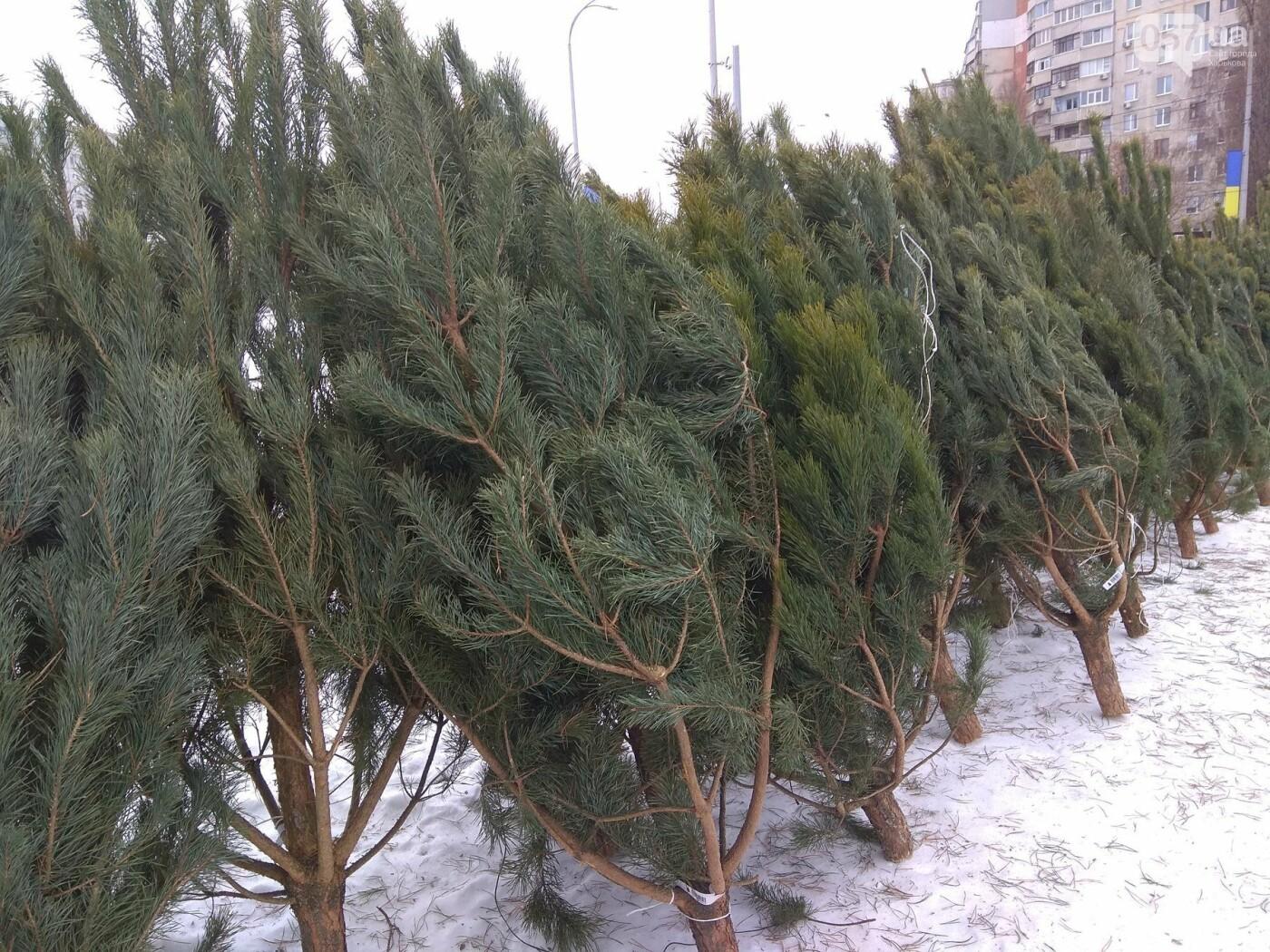 Новогодние елки в Харькове. Где и за сколько можно купить, - ФОТО, фото-20