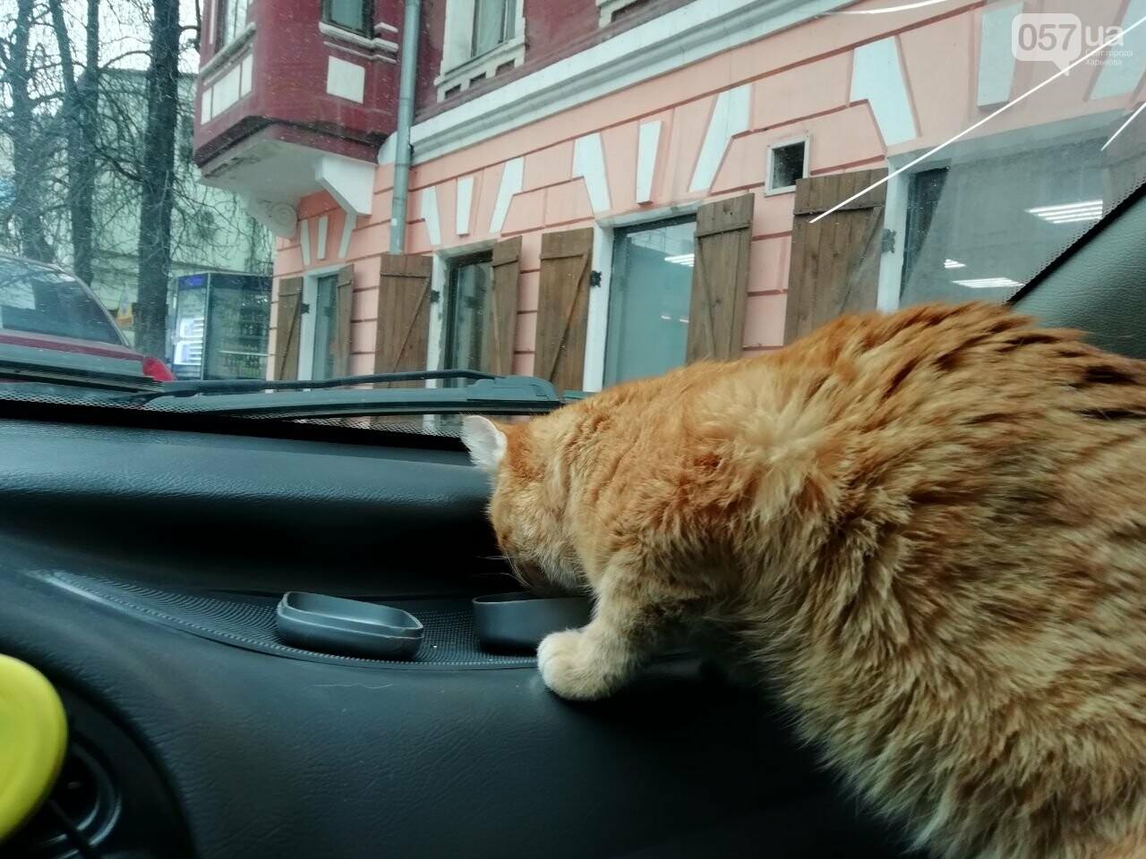 Поездка с котом и большие чаевые. Как харьковский таксист с питомцем возит пассажиров, - ФОТО, фото-22