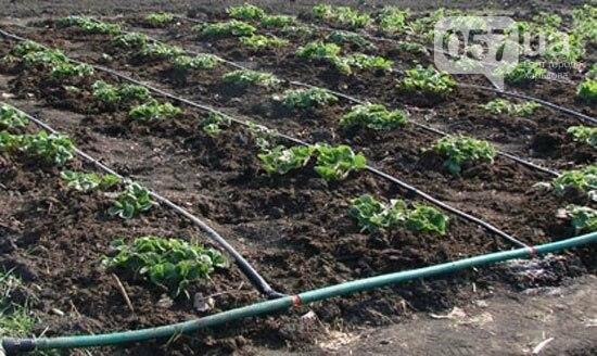 Капельный полив – экономия и роскошная растительность вашего сада, фото-2