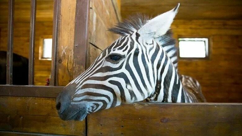 Из экопарка сбежала зебра. Харьковчан просят не пытаться ее поймать