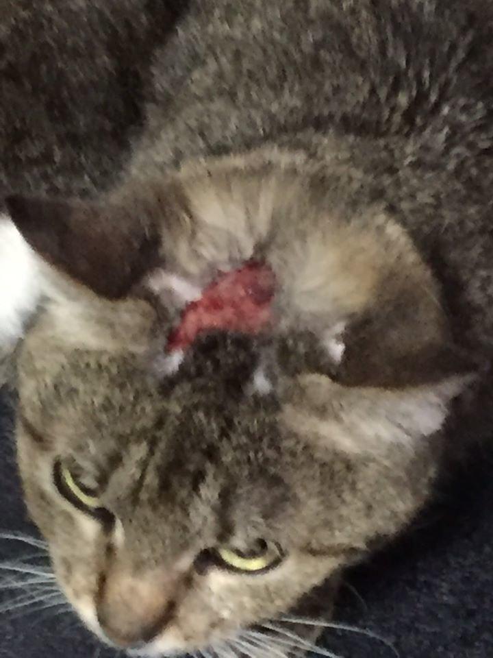 В Харькове неизвестный садист вырезал лезвием на голове кота звезду, - ФОТО, фото-2