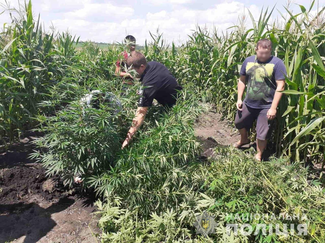 В Харьковской области полиция «накрыла» плантацию конопли, - ФОТО, фото-2