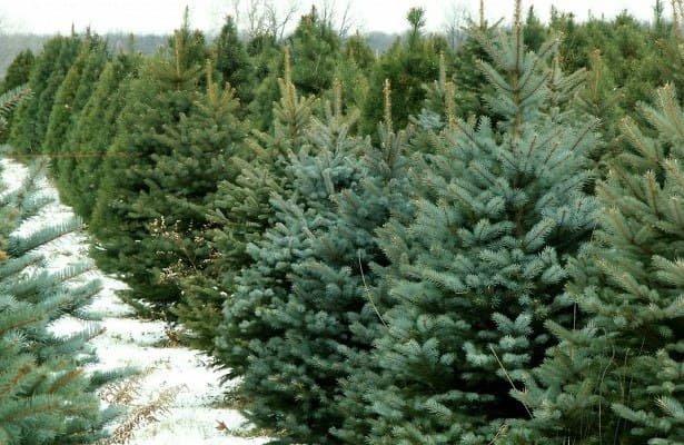Живая или искусственная: какую елку стоит поставить в этом году, - ФОТО , фото-4
