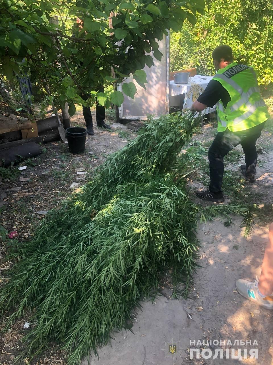 Высадил между кукурузой, поливал и окучивал: на Харьковщине полицейские «накрыли» плантацию наркотиков, - ФОТО, фото-2