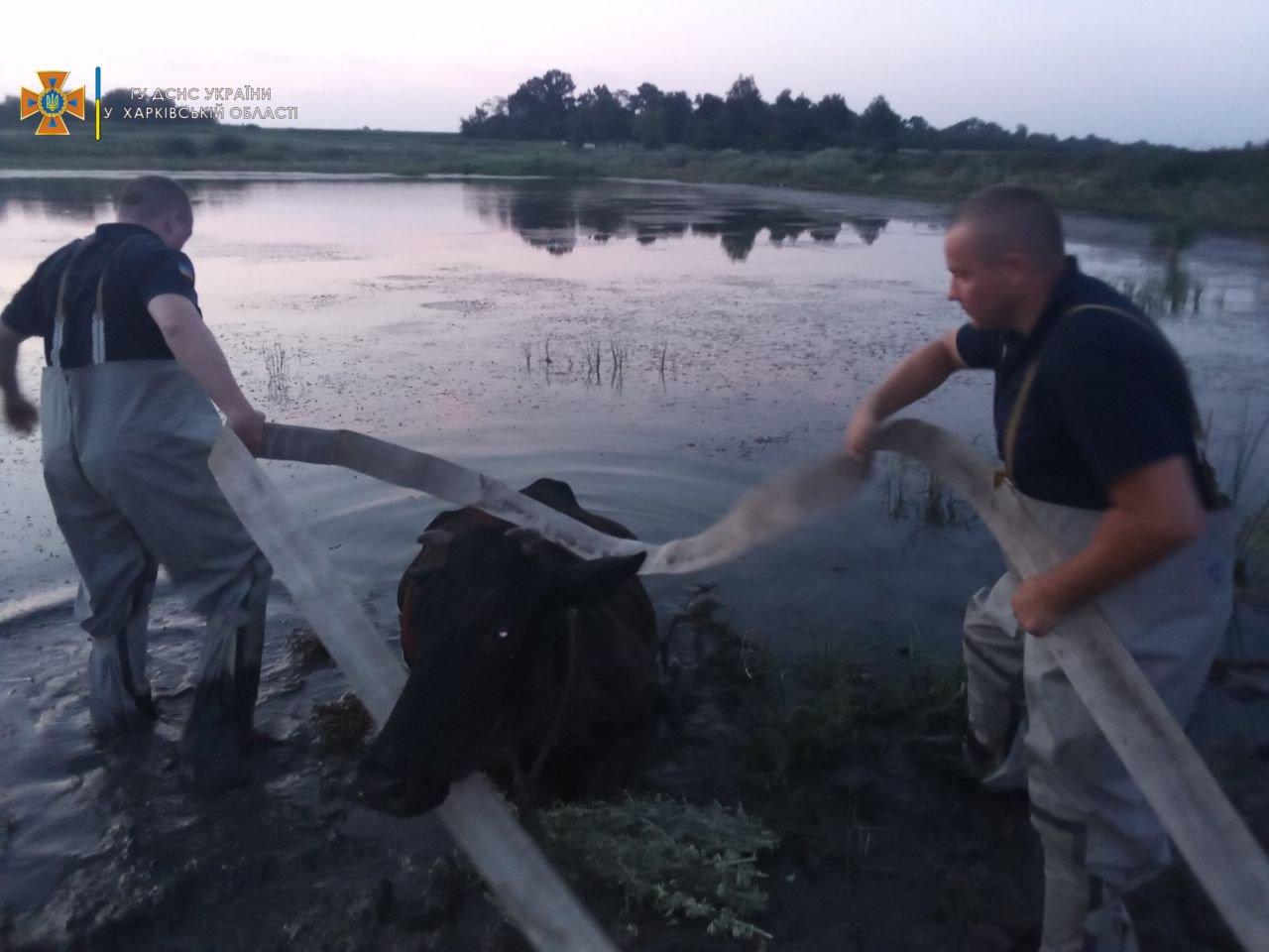 В Харьковской области спасатели доставали из пруда корову, - ФОТО, фото-2
